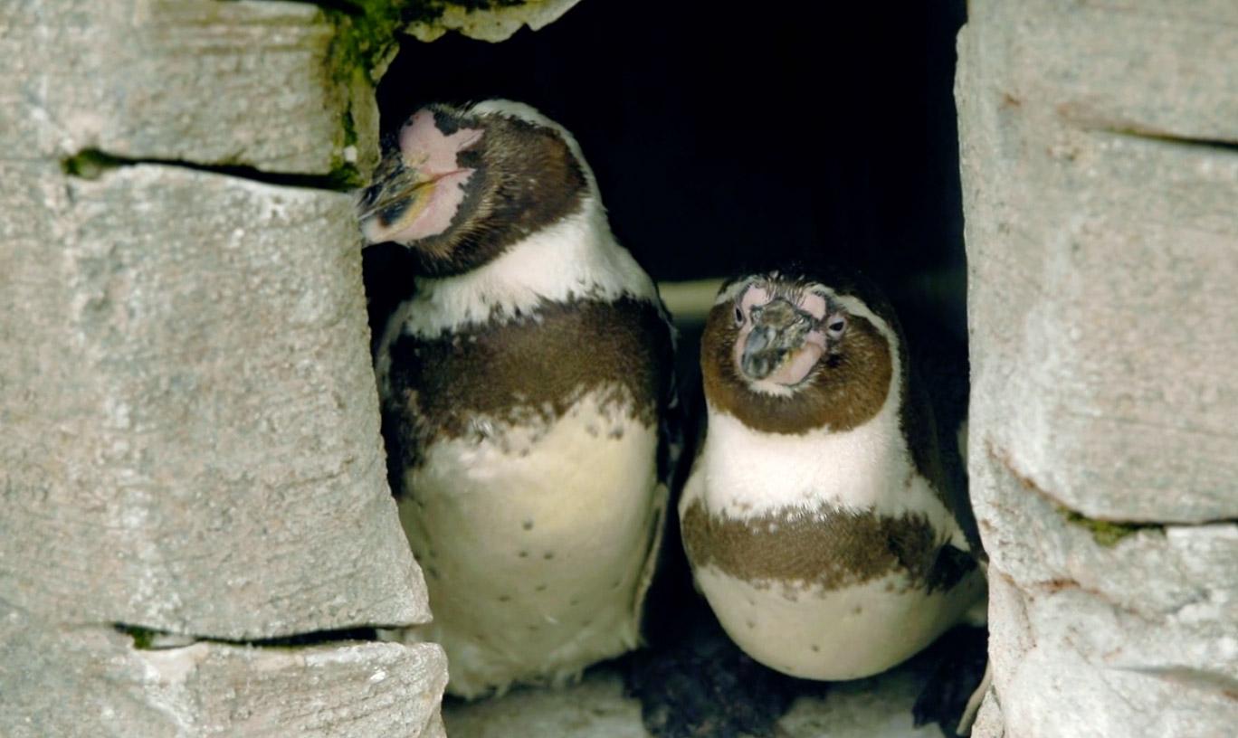 Photo of Tizedik évfordulóját ünnepli egy meleg pingvinpár Németországban