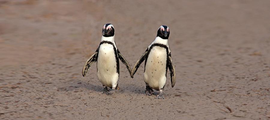 Photo of Tojásokat lopott egy meleg pingvinpár, hogy kiköltsék
