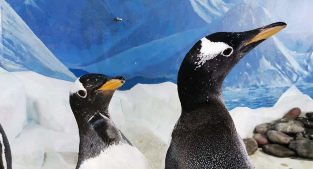 Photo of Meleg pingvinpárral gazdagodott Írország