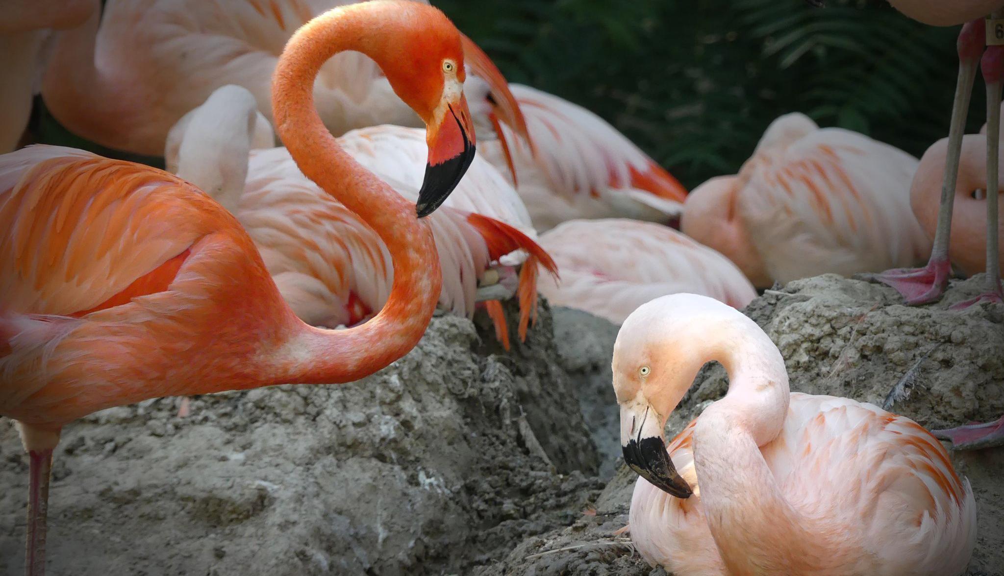 Photo of Meleg flamingó párral ünnepli a pride-ot az amerikai állatkert