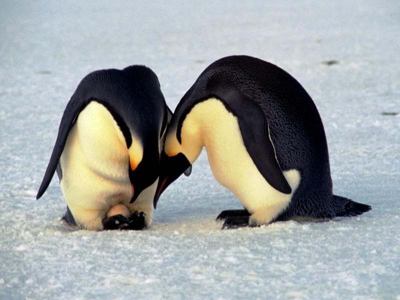 Photo of Meleg pingvinpár veszi szárnyai alá a sorsára hagyott tojást Berlinben
