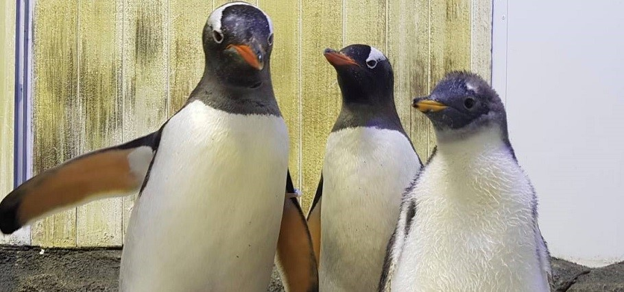 Photo of Másodjára is apa lehet kedvenc meleg pingvinpárunk