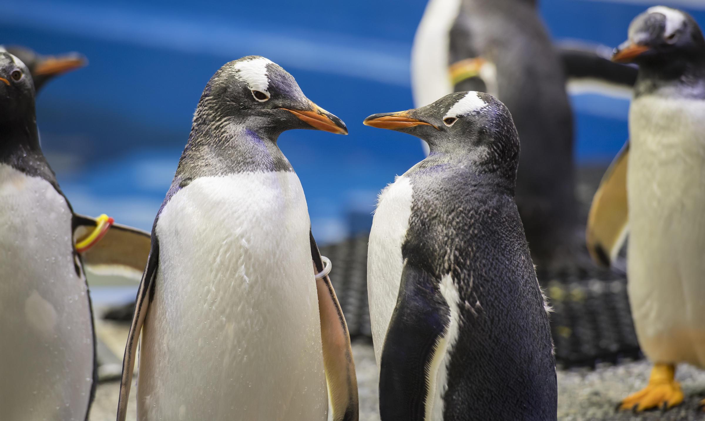 Photo of A világhírű meleg pingvinpárral ünnepelt a bezárt állatkert