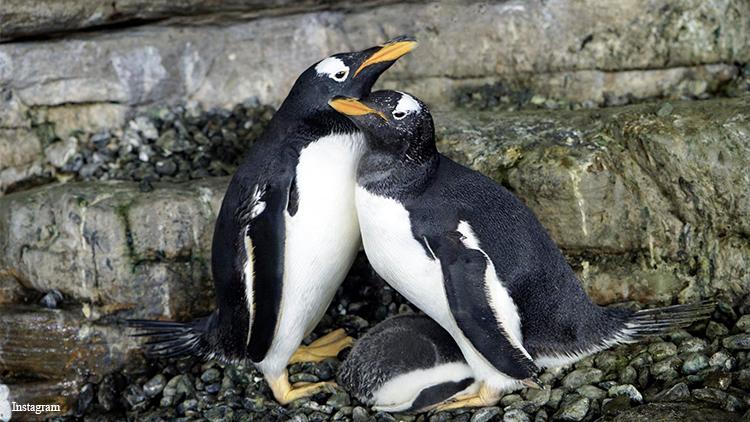 Photo of Videón a családot alapító leszbikus pingvinpár