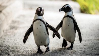 Photo of Meleg pingvinpár lopott tojást a leszbikus pingvinpártól Hollandiában